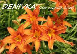 denivka5