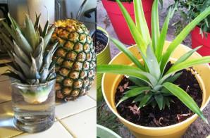 Jak zasadit ananas