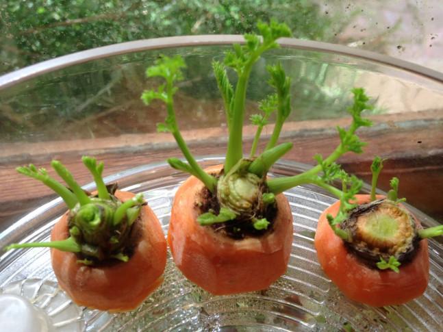 mrkev výhonky