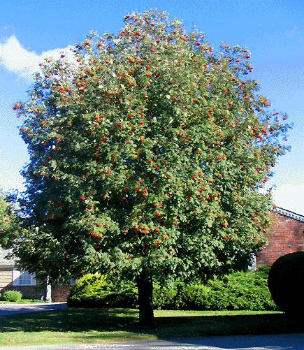 Znáte největší ovocný strom? - Zahrádkářův rok  Dat